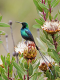 A Malachite Sunbird on a Protea Flower at 9 750 Feet on the Moorlands of Mount Kenya