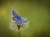 Italy  Umbria  Norcia  Purple Butterfly on a Dandelion