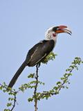 A Von Der Decken's Hornbill