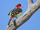A Red-And-Yellow Barbet in Tsavo East National Park