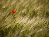 Italy  Umbria  Norcia  a Single Poppy in a Field of Barley Near Norcia