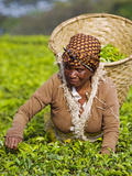 Malawi  Thyolo  Satemwa Tea Estate  a Female Tea Picker Out Plucking Tea