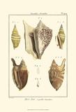 Strombe Shells  Pl 409