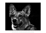 Canine Scratchboard XXIX