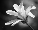 Magnolia Dreams II