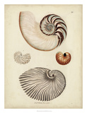 Antique Nautilus II