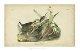Audubon Green Heron