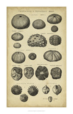 Study of Shells III Giclée par Chambers