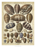 Cowrie Shells I