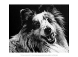 Canine Scratchboard XXVI