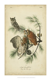 Audubon Screech Owl