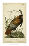 Audubon Wild Turkey