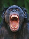 Bonobo Grimacing