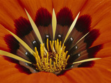 Gazania  Niewoudtville  South Africa
