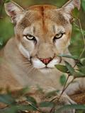 Cougar, Belize Papier Photo par Frans Lanting