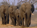 African Elephants Walking  Chobe National Park  Botswana