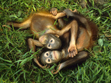 Orphaned Bornean Orangutans  Sepilok Reserve  Sabah  Borneo
