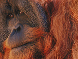 Bornean Orangutan  Borneo