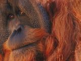 Bornean Orangutan  Borneo