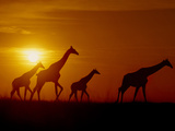 Giraffes at Sunset  Okavango Delta  Botswana