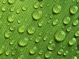 Waterdrops on Leaf  Tambopata National Reserve  Peru