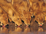Lionesses Drinking at Waterhole  Chobe National Park  Botswana