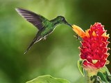 Green-Crowned Brilliant Hummingbird Feeding on Ginger Torch  Costa Rica