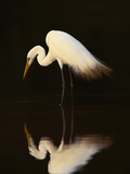 Great Egret in Lagoon, Pantanal, Brazil Reproduction d'art par Frans Lanting