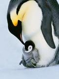 Emperor Penguin with Chick on Feet, Weddell Sea, Antarctica Papier Photo par Frans Lanting