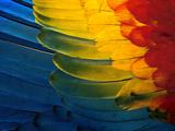 Scarlet Macaw Wing Plumage  Manu National Park  Peru