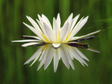 Water Lily Blooming  Okavango Delta  Botswana