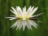 Water Lily Blooming, Okavango Delta, Botswana Papier Photo par Frans Lanting