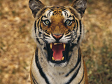 Bengal Tiger Snarling  Western Ghats  India