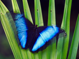 Morpho Butterfly  Manu National Park  Peru