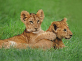 Lion Cubs Playing  Masai Mara National Reserve  Kenya