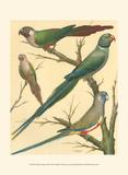 Cassell's Parakeets III