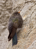 Blue-Mantled Thornbill (Chalcostigma Stanleyi) Perched on a Tree Trunk in Cajas National Park