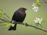 Brown-Headed Cowbird (Molothrus Ater) Perched on a Branch in Victoria  British Columbia  Canada