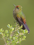 Rainbow-Bearded Thornbill (Chalcostigma Herrani) Perched on a Branch  Yanacocha Reserve  Ecuador
