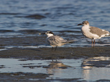 Sandwich Tern and a Gull  Costa Rica