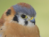 American Kestrel (Falco Sparverius) Head  Ontario  Canada