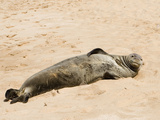 Hawaiian Monk Seal  Monachus Schauinslandi  on the Beach