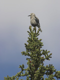 Clark's Nutcracker (Nucifraga Columbiana) Perched Atop a Conifer  Oregon  USA