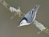 White-Breasted Nuthatch (Sitta Carolinensis) Perched on a Branch  Ottawa  Ontario  Canada