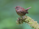 Winter Wren (Troglodytes Troglodytes) Perched on a Mossy Branch in Victoria  British Columbia