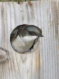 Tree Swallow (Tachycineta Bicolor) Peering from a Nest Box  Pennsylvania  USA