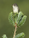 Willow Flycatcher (Empidonax Traillii) Perched on a Tree in Victoria  British Columbia  Canada
