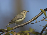 Warbling Vireo (Vireo Gilvus) Perched on a Branch  Ontario  Canada