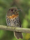 White-Whiskered Puffbird (Malacoptila Panamensis) Perched on a Branch