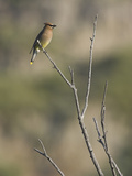 Cedar Waxwing (Bombycilla Cedrorum) Perched on a Branch in Toronto  Ontario  Canada